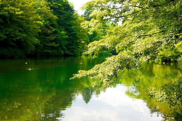 緑が眩しい雲場池