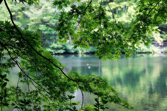 もみじと雲場池と鴨