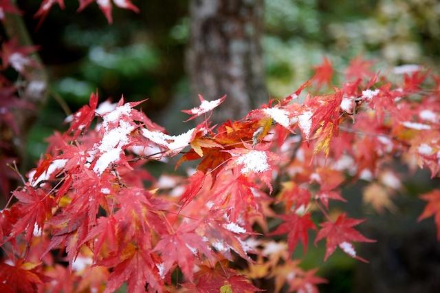 紅葉の初雪
