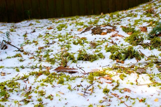 雪の下の苔