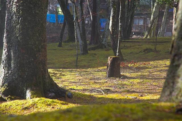 春の日ざしを受ける苔の庭