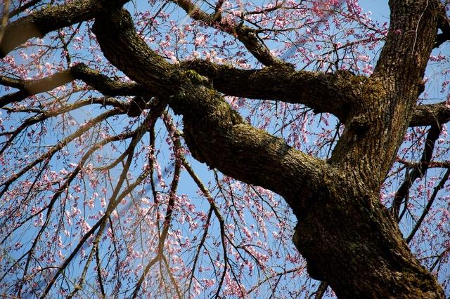 軽井沢の桜、三分咲き