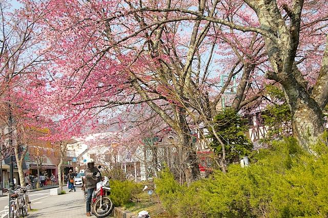 旧軽井沢ロータリーの桜