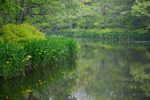 雲場池の黄菖蒲