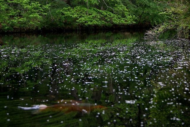 鯉が泳ぐ雲場池