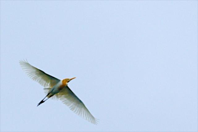 大賀ホール上空を舞う白鷺03