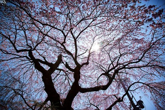軽井沢遅咲きの桜08神宮寺