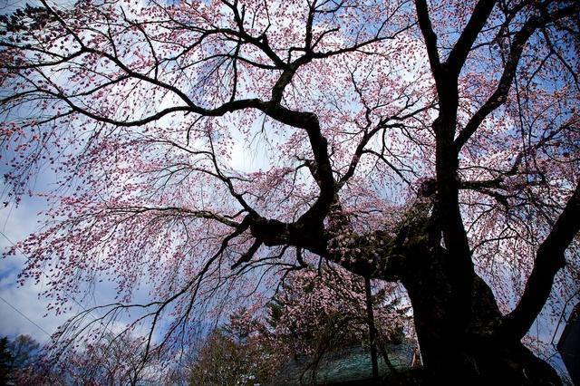 軽井沢遅咲きの桜09神宮寺