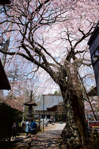 軽井沢遅咲きの桜10神宮寺