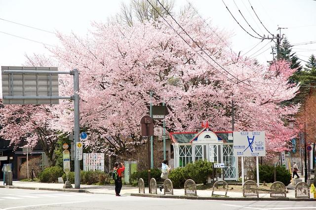 軽井沢遅咲きの桜01