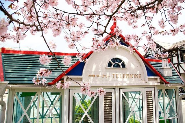 軽井沢遅咲きの桜04