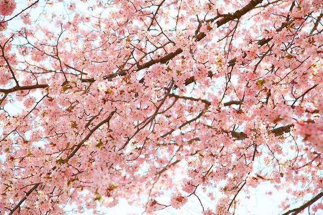 軽井沢遅咲きの桜06