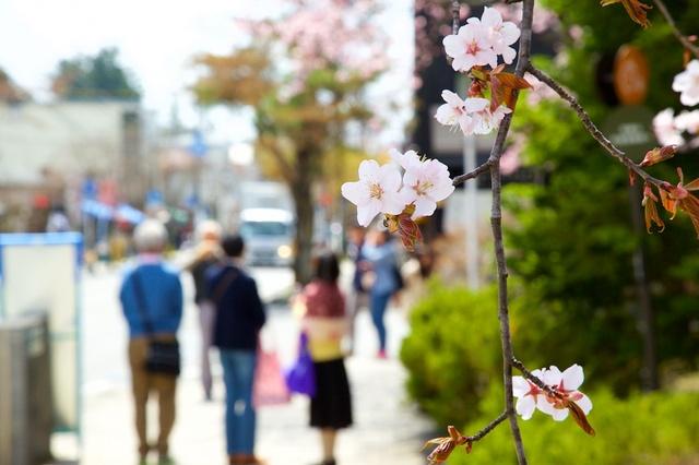軽井沢遅咲きの桜05