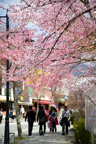 軽井沢遅咲きの桜07