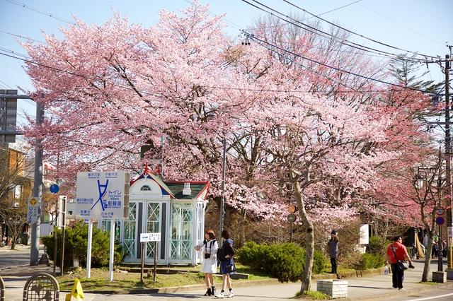 軽井沢ロータリー桜