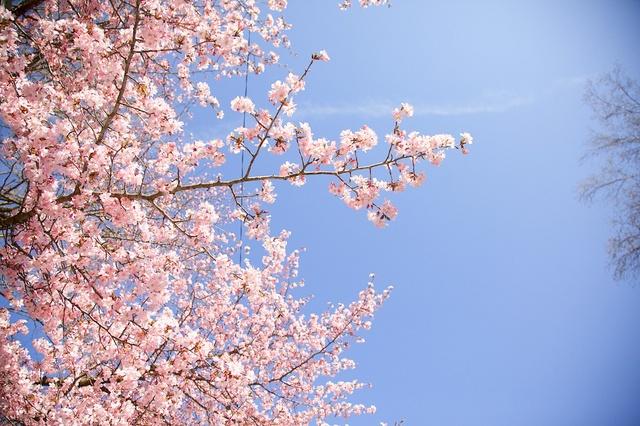 軽井沢ロータリー桜03