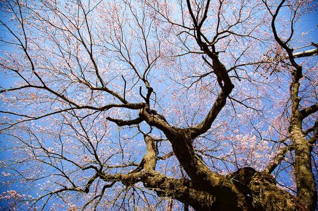 軽井沢神宮寺桜