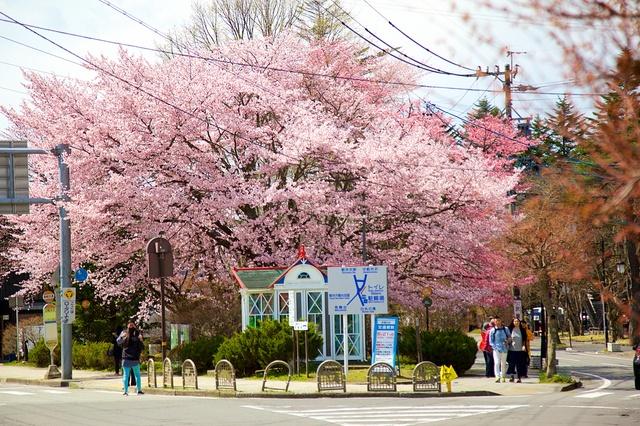 軽井沢の桜01