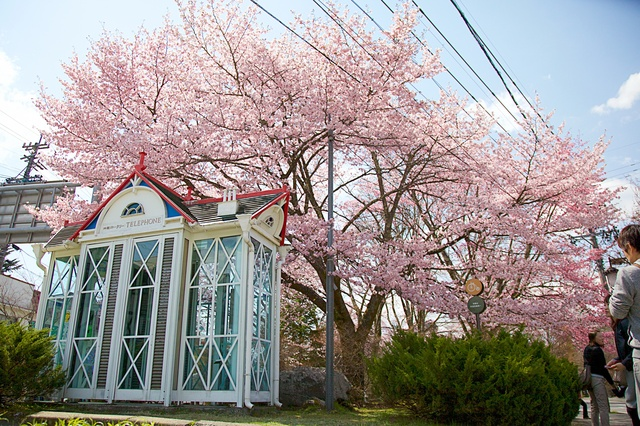 軽井沢の桜02.jpg