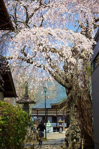 軽井沢神宮寺の桜.jpg