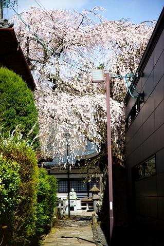 神宮寺の桜01.jpg