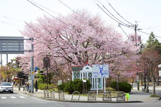 旧軽井沢ロータリーの桜01.jpg