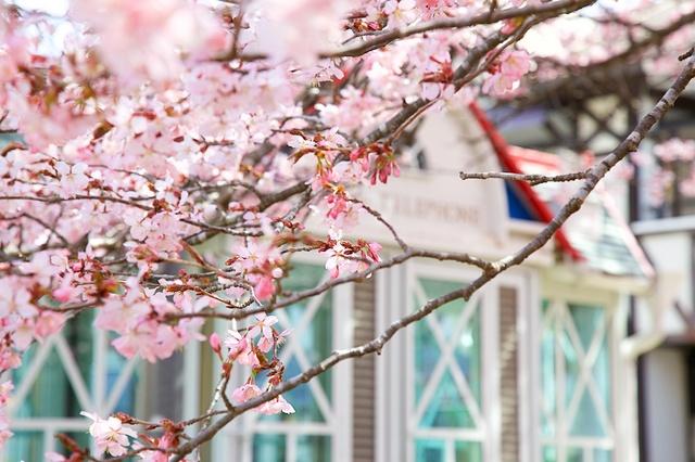 旧軽井沢ロータリーの桜05